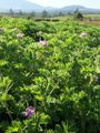 Pelargonium graveolens 1.JPG