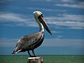 Pelecanus occidentalis - Brown Pelican (5307397275).jpg