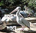 Pelikanen avifauna alphen aan den rijn.jpg