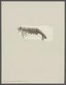 Penaeus canaliculatus - - Print - Iconographia Zoologica - Special Collections University of Amsterdam - UBAINV0274 097 10 0003.tif