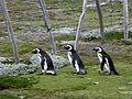 Penguin Trio Returning To Their Nests (8141344994).jpg