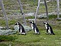 Penguin Trio Returning To Their Nests (8141344994).jpg