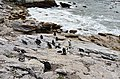 Penguin colony in Hermanus 22.jpg