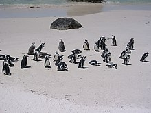 Penguins at Boulders Beach.jpg