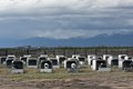 Penned calves, which from a distance look like pigs in stys, near Alamosa in Alamosa County, Colorado LCCN2015632581.tif