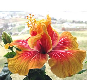 Hibiscus rosa-sinensis - One offspring