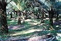 Perkebunan kelapa sawit milik rakyat (82).JPG