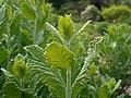 Perovskia atriplicifolia 2017-05-23 1125.jpg