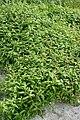 Persicaria maculosa kz04.jpg
