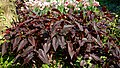 Persicaria microcephala 'Red Dragon' at Myddelton House garden, Enfield, London 02.jpg