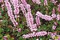 Persicaria vaccinifolia (SG) (33030323685).jpg