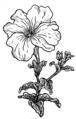Petunia (PSF).png
