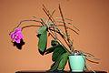 Phalaenopsis Keikis 01 by-dpc.jpg