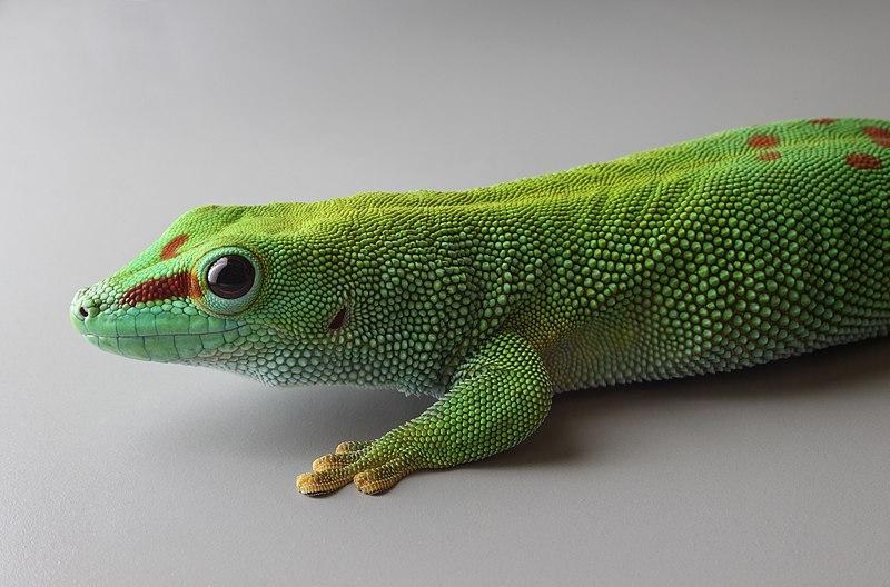 Файл Phelsuma Grandis Stuttgart Zoological Garden Jpg