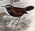 Pheugopedius atrogularis 1902.jpg