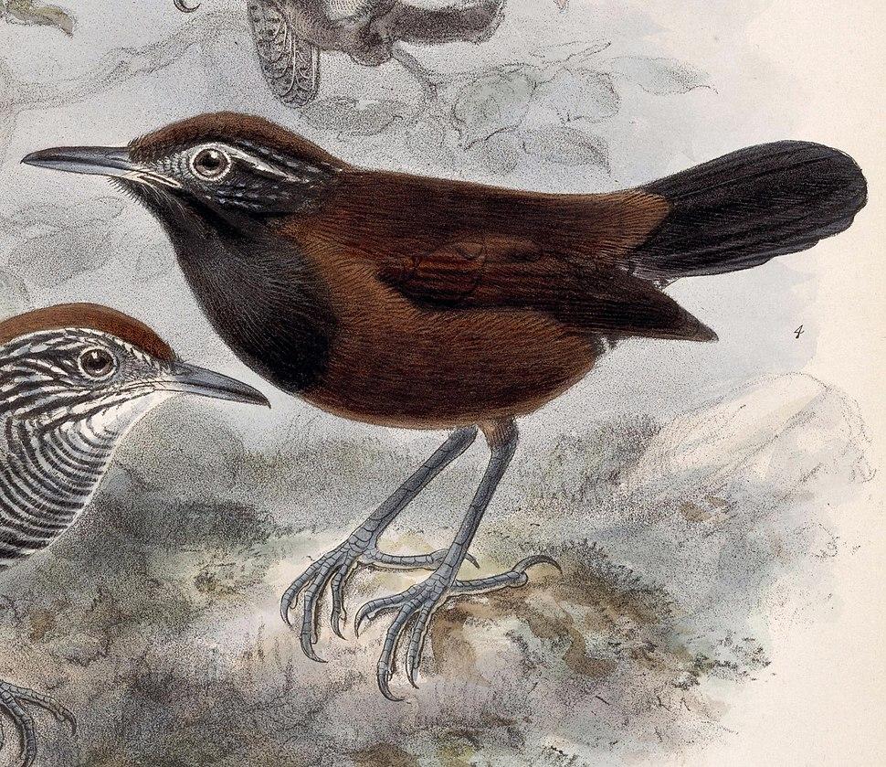 Pheugopedius atrogularis 1902