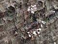 Phleogena faginea 105906349.jpg