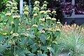 Phlomis russeliana IMG 0070.jpg