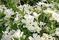 Phlox subulata White Delight 1zz.jpg