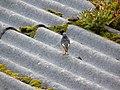 Phoenicurus ochruros.001 - Ribadeo.jpg