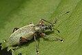 Phyllobius.glaucus.-.lindsey.jpg