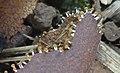 Physarum melleum 601110.jpg