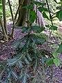 Picea chihuahuana 1.jpg