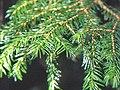 Picea jezoensis var hondoensis1.JPG