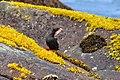 Pigeon Guillemot on Buldir Island by Katherine Robbins USFWS.jpg