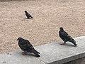 Pigeons in Sydney.jpg