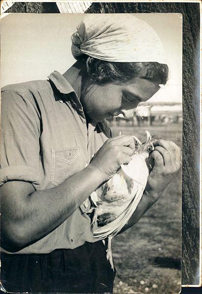 לולנית מקיבוץ רודגס מטפלת בעוף