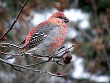 Adult male pine grosbeak (Pinicola enucleator)