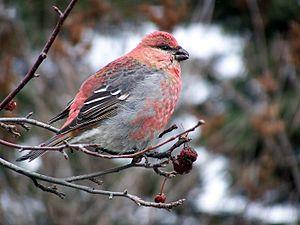 Grosbeak - Pine grosbeak, Pinicola enucleator