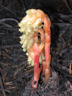 Pinesap-mthood-august2005.JPG