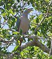 Pink-headed Imperial Pigeon (8074116303) (cropped).jpg