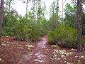 Pinus elliottii - Ceratiola ericoides.jpg