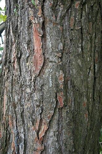 Pinus halepensis - Image: Pinus halepensis Trunk 11a