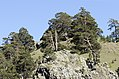Pinus sylvestris hamata, Giresun 2017-07-02 01-2.jpg