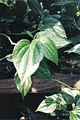 Piper betel's leaf.jpg