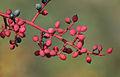 Pistacia terebinthus - Yabani fıstık - Terebinth 2.JPG