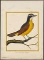 Pitangus sulphuratus - 1700-1880 - Print - Iconographia Zoologica - Special Collections University of Amsterdam - UBA01 IZ16500315.tif