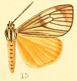 <i>Secusio</i> genus of insects