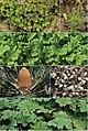Plant hosts (10.3897-mycokeys.6.3869) Figure 6.jpg