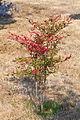 Planta. Oroso Galiza 1.jpg