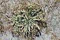 Plantago coronopus kz6.jpg