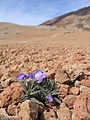 Plants between rocks on Teide - 004.JPG