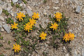 Plants from Drei Zinnen 05.jpg