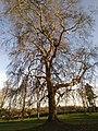 Platane commun 2 (Parc du château de Dongelberg).jpg