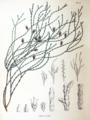 Platycladus orientalis SZ117.png