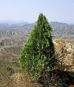 Platycladus orientalis Simatai.jpg